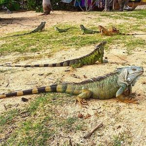 st-maarten-pinel-island-reptile