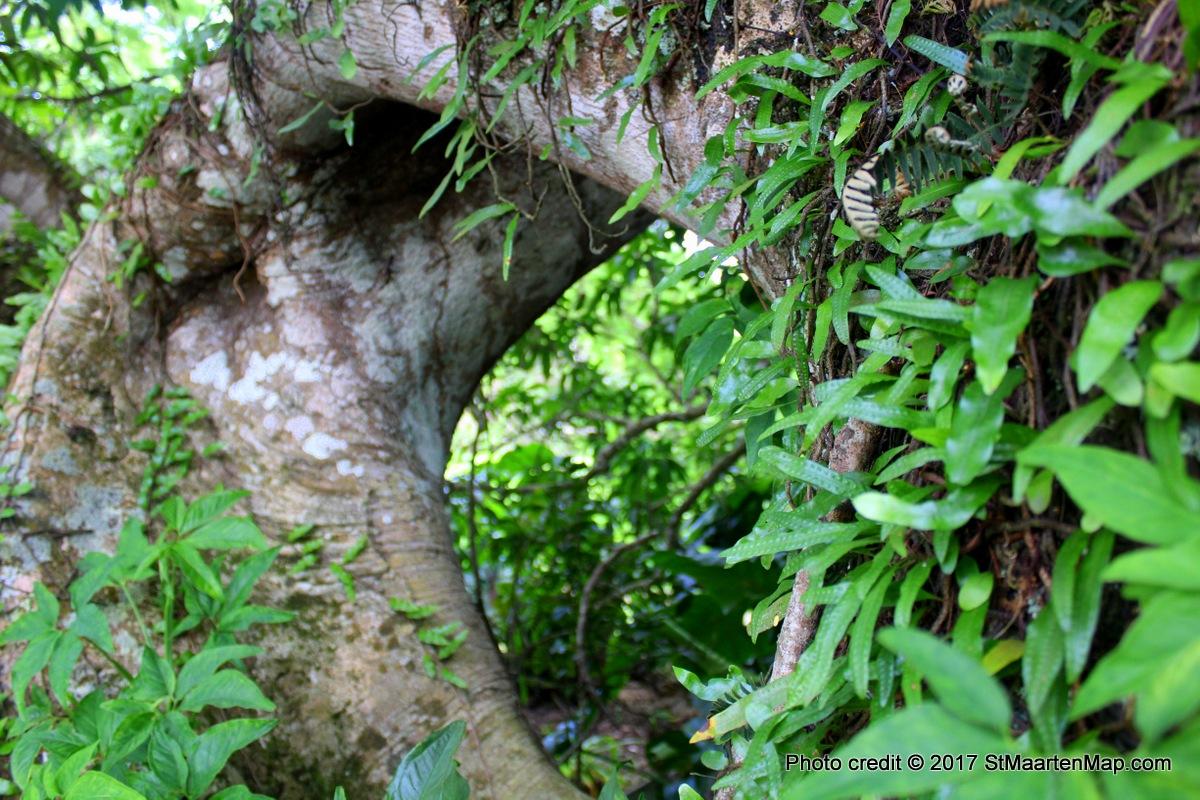 hole-tree-saba